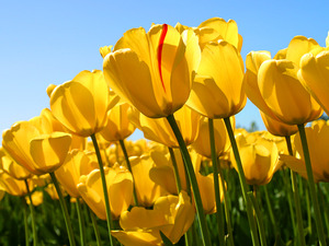 Main_thumb_tulips